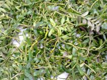 卉丰园铁皮石斛加盟