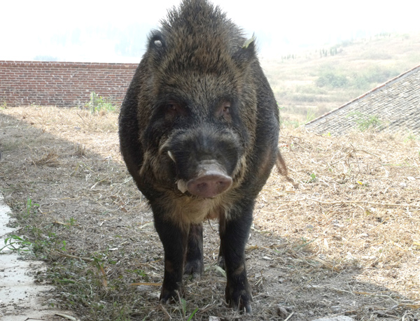 湘顺特种野猪养殖加盟