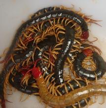 富民6号金头蜈蚣养殖加盟