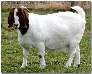 山东嘉通养殖场供应波尔山羊,小尾寒羊